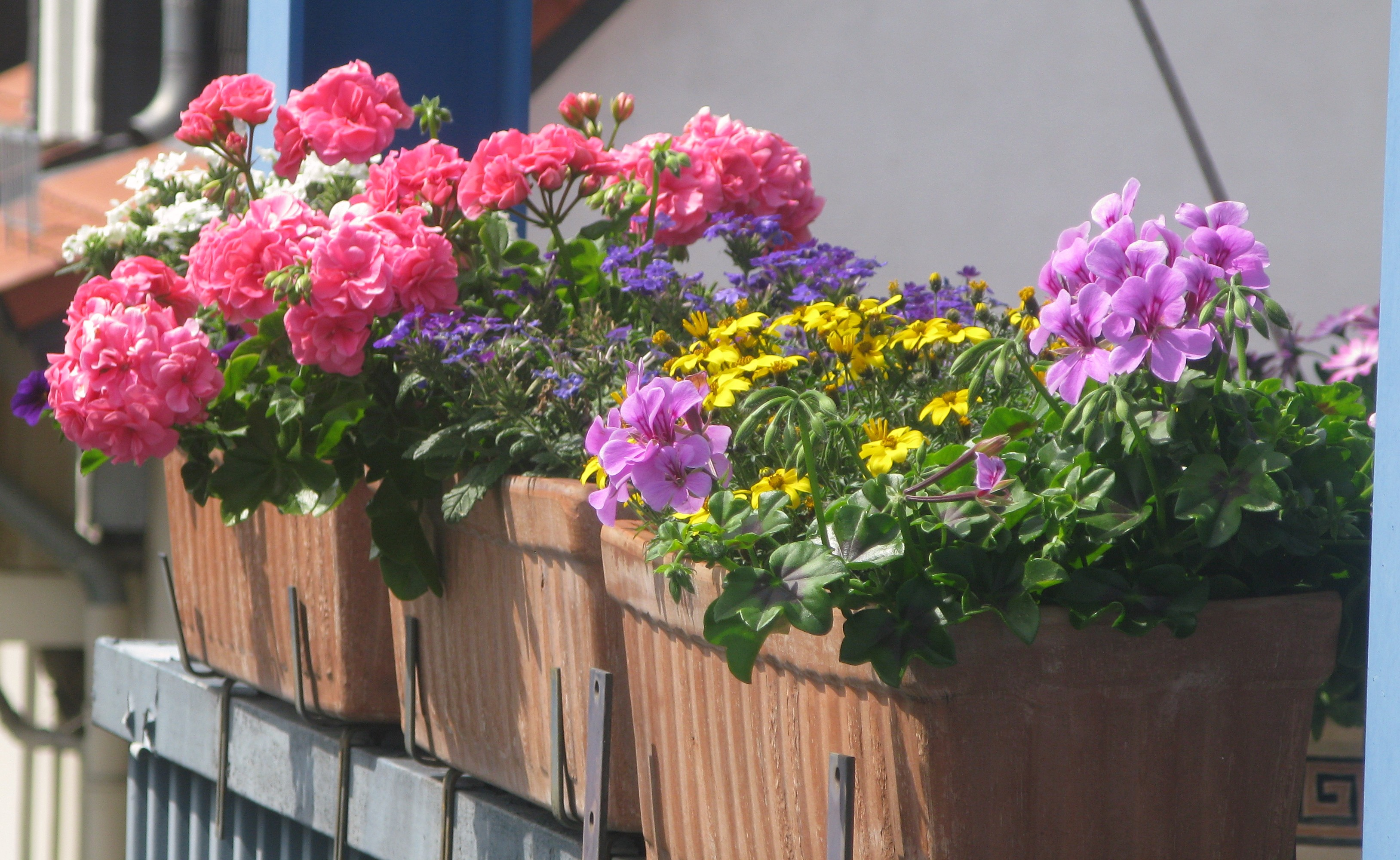 City gardening german style cosmos and cleome - Flowers for apartment balcony ...