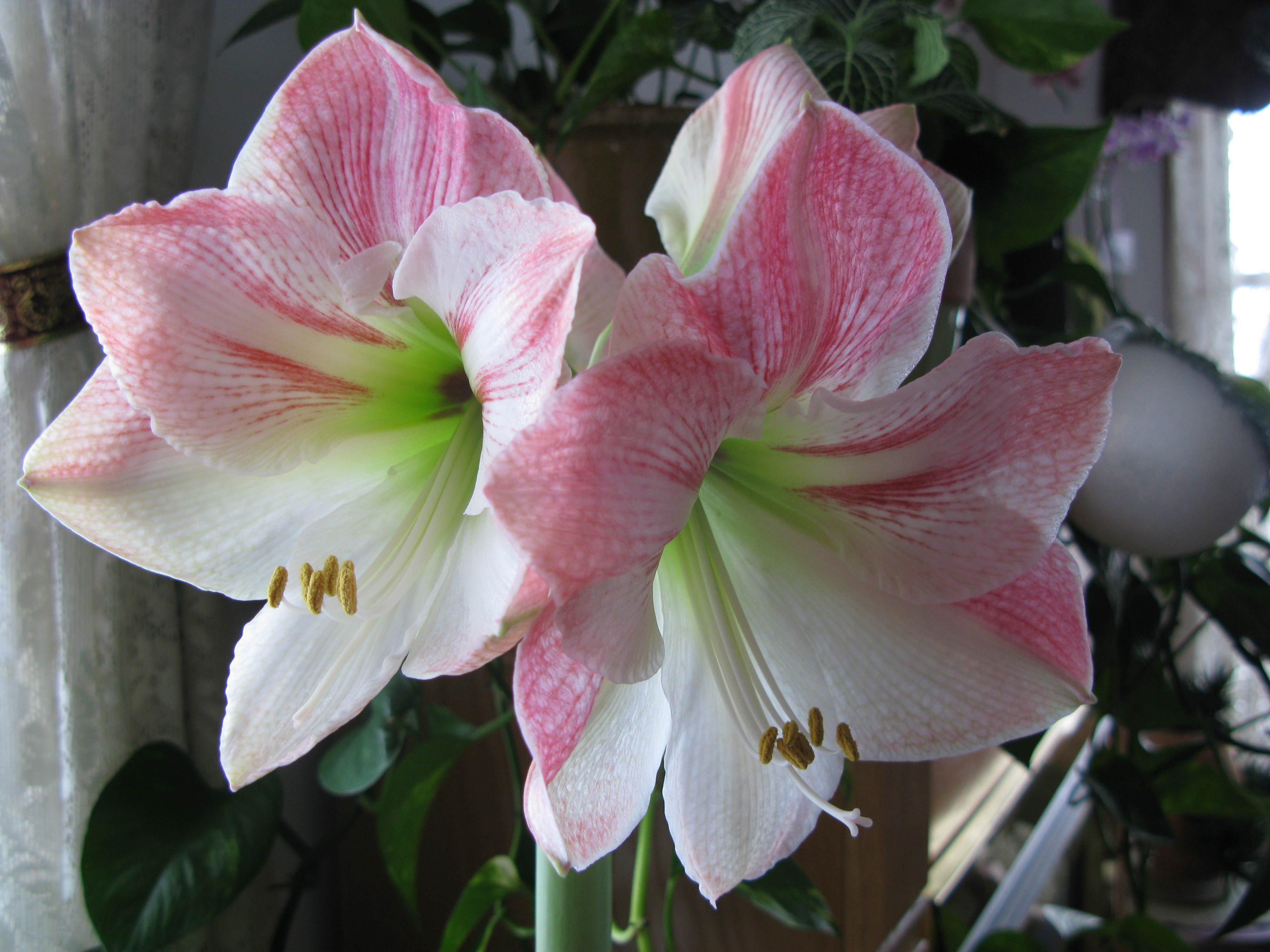 amaryllis apple blossom in bloom cosmos and cleome