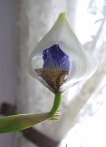Walking Iris bud 2