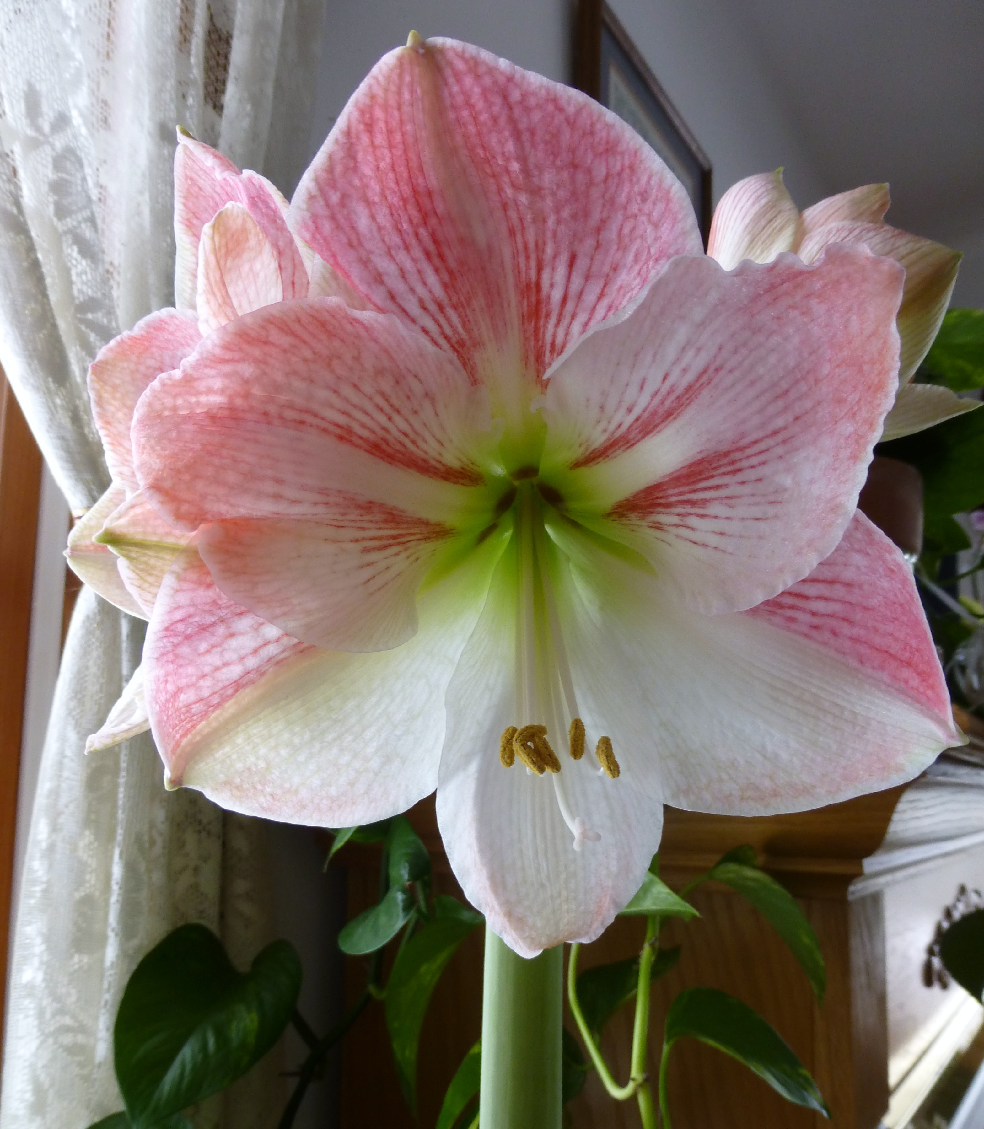 Amaryllis apple blossom in bloom cosmos and cleome for Pot amaryllis