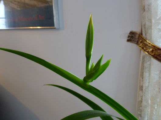 Walking iris bud