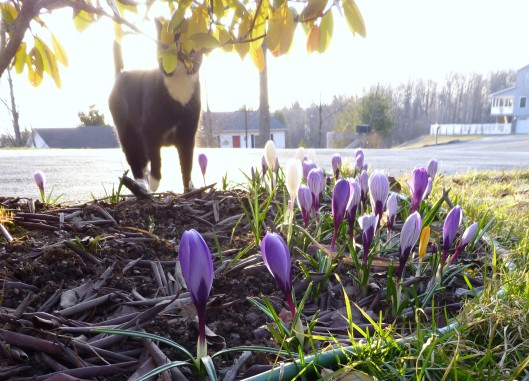 Cat with Early Morning Crocuses