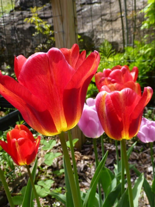 Tulip 'Tequila Sunrise'  5/17, day 8 of bloom period