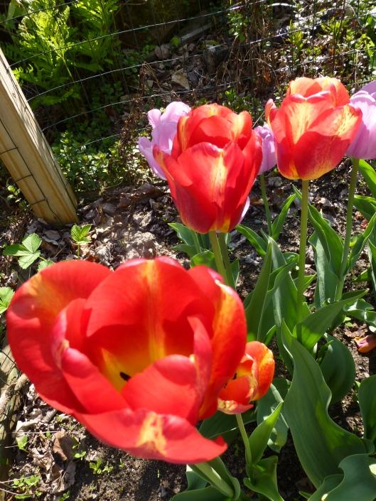 Tulipa 'Tequila Sunrise' day 6
