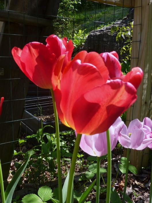 Tequila Sunrise  tulip, day 10, 5/20