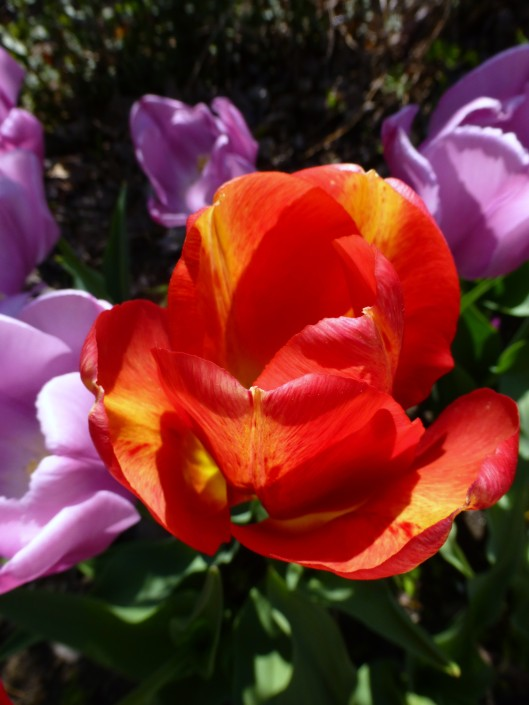 Tulipa 'Tequila Sunrise'  5/15/13; day 6