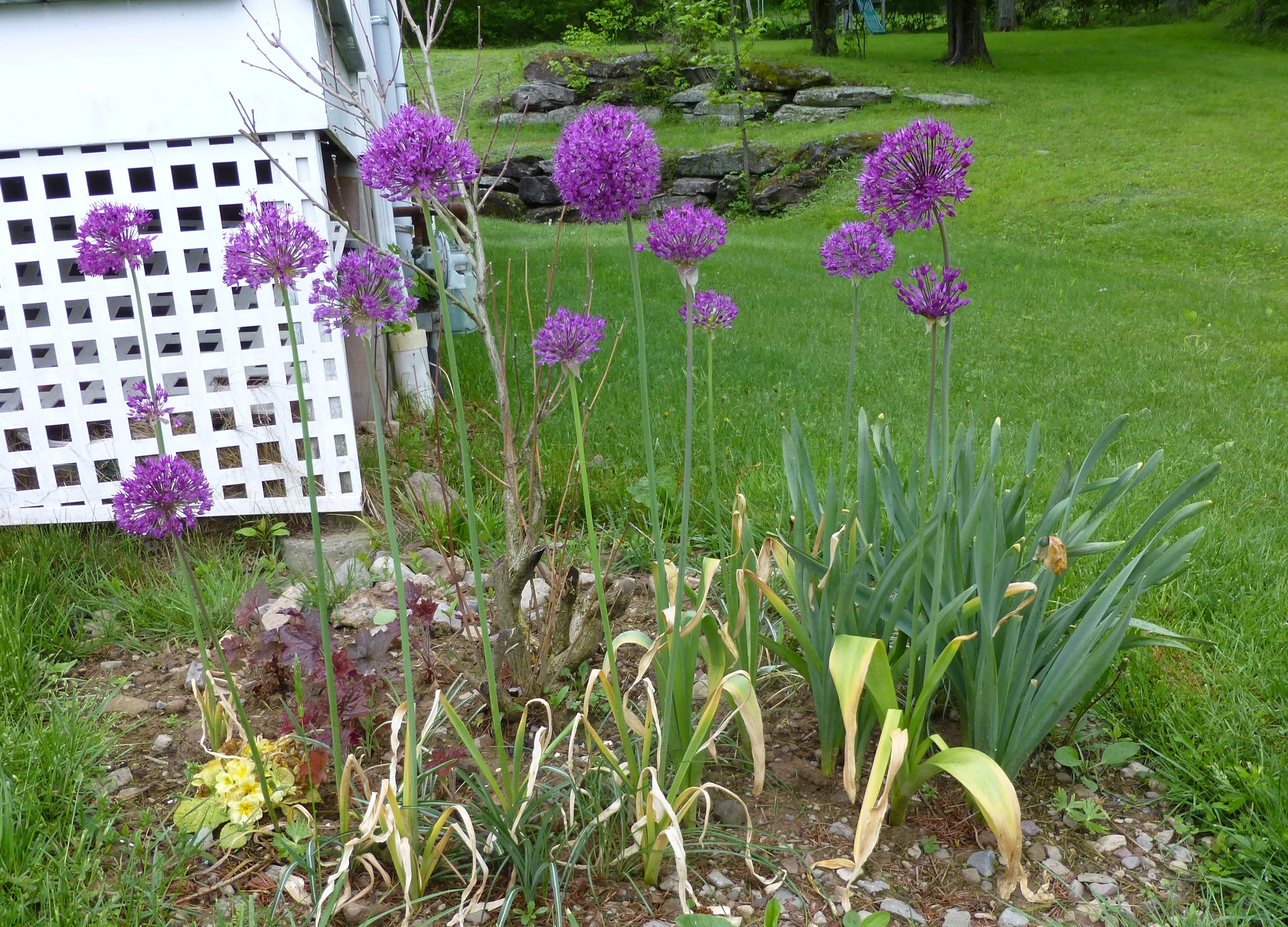 how to cut down alliums