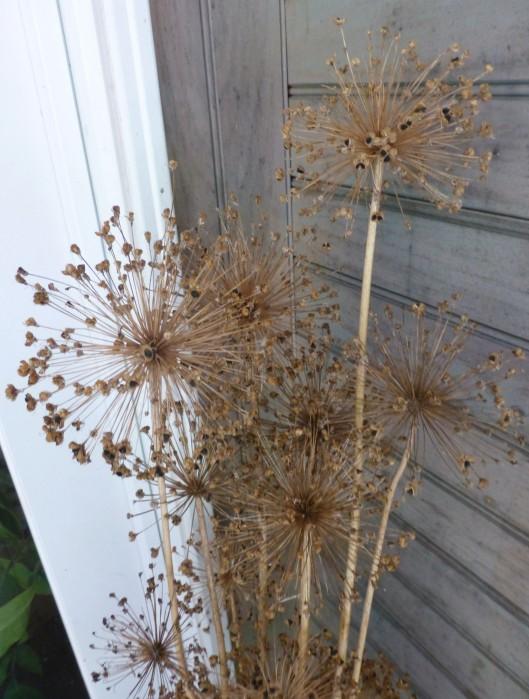 Allium 'Purple Sensation', dried seed heads