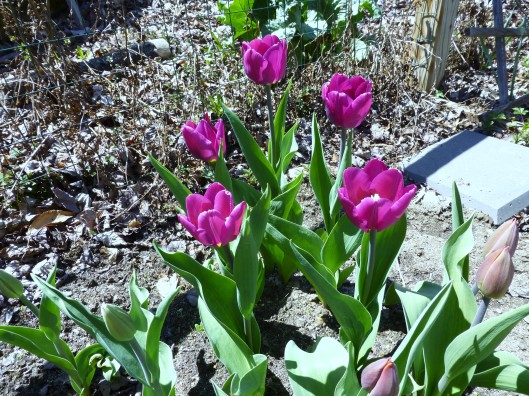 """Purple Prince' tulips open"