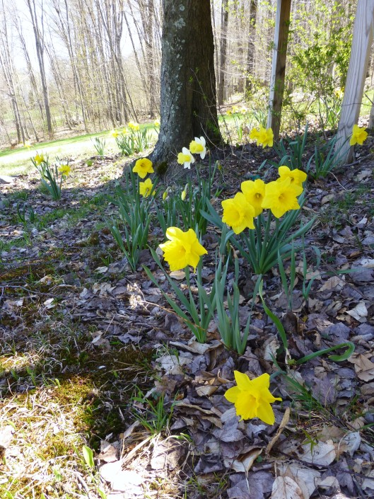 daffodils around treehouse