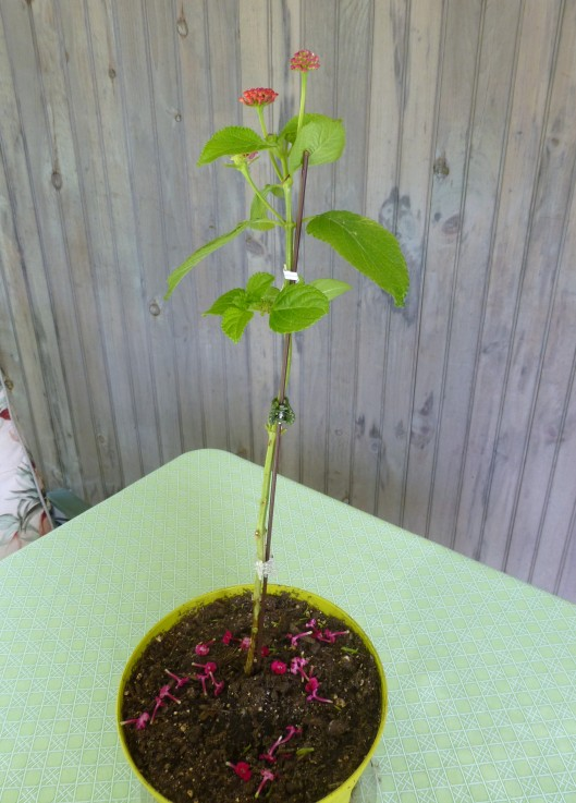 Lantana tree in training