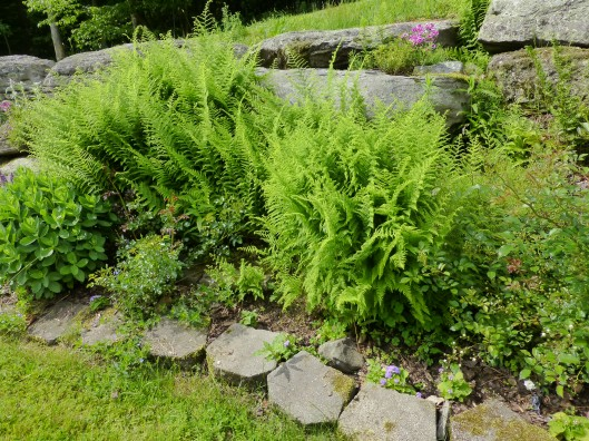 ferns in rock garden