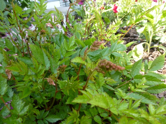 more Astilbe buds