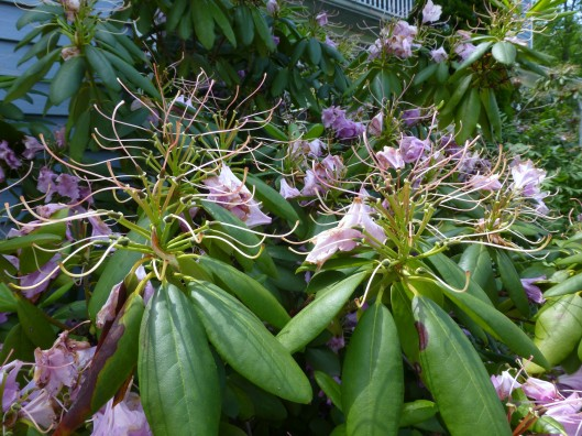 rhododendron seed heads