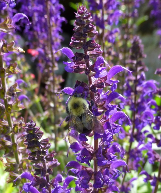 Bumblebee on May Night Salvia