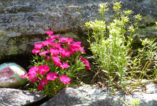 Dianthus in the rocks, with Candytuft seedheads