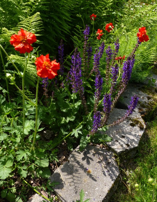 Geum 'Mrs. Bradshaw' and May Night Salvia