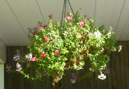 Verbena, Purslane, and Scaevola in a hanging basket