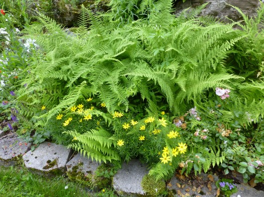 ferns overtaking coreopsis