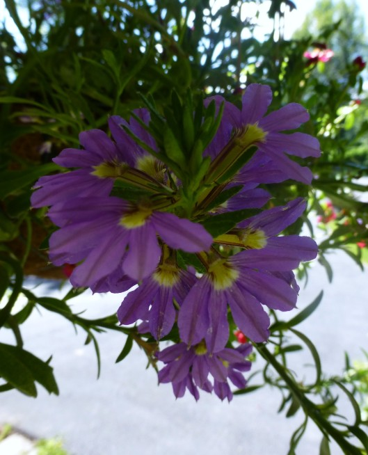 Fan Flower close-up (Scaevola)
