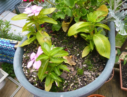 over-watered vinca