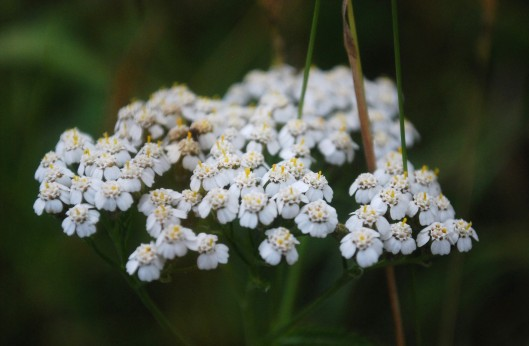 wild yarrow close up