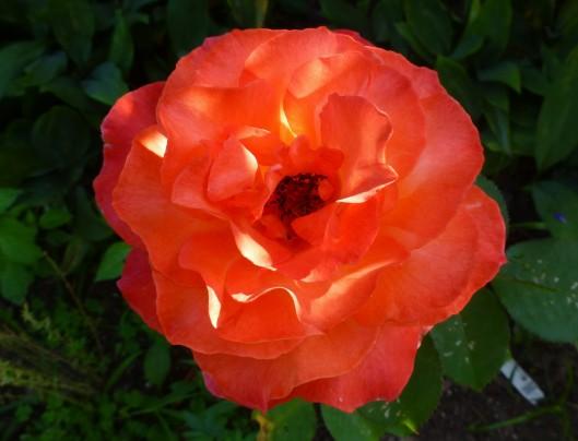 Hybrid Tea Rose 'Sedona'