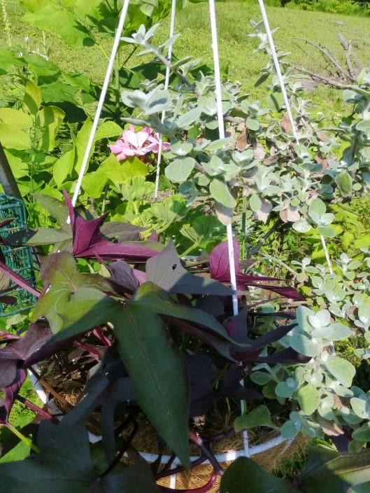 Licorice Plant with Sweet Potato Vine