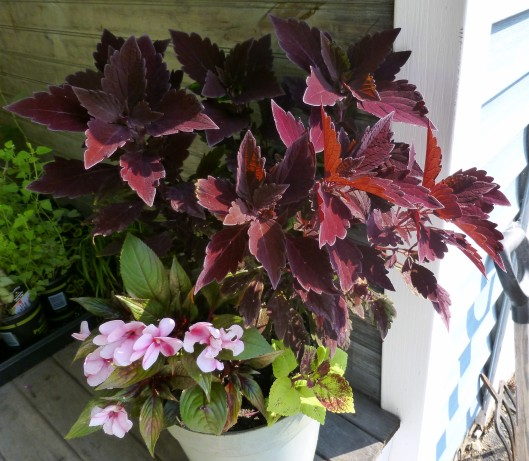 Coleus and New Guinea Impatiens