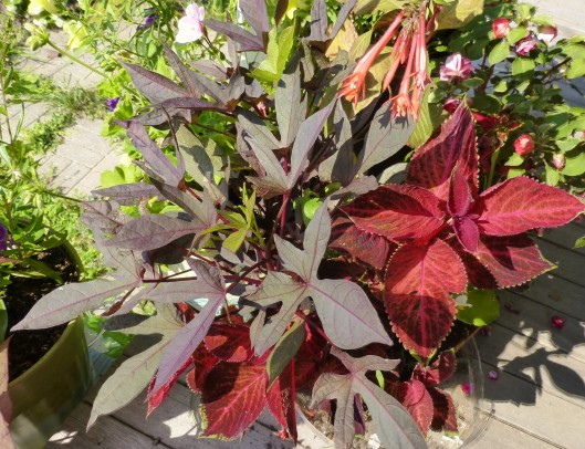 Sweet potato vine with red coleus