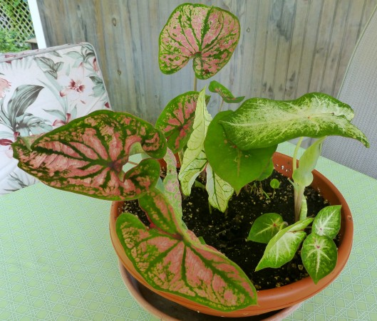 Caladium bowl on table