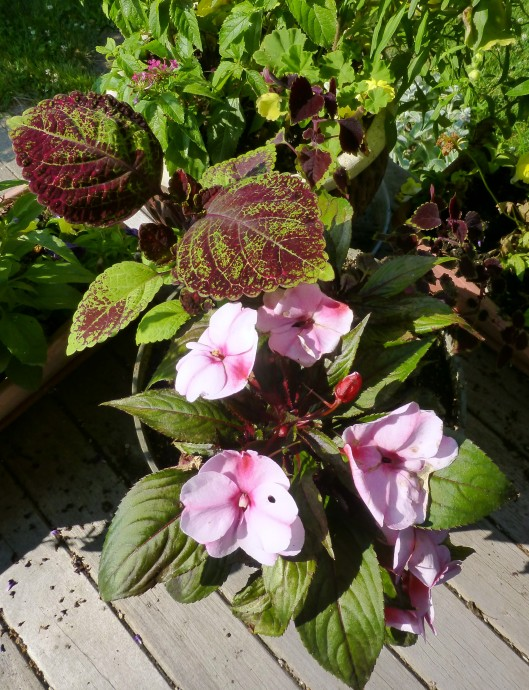 Other NG impatiens with coleus