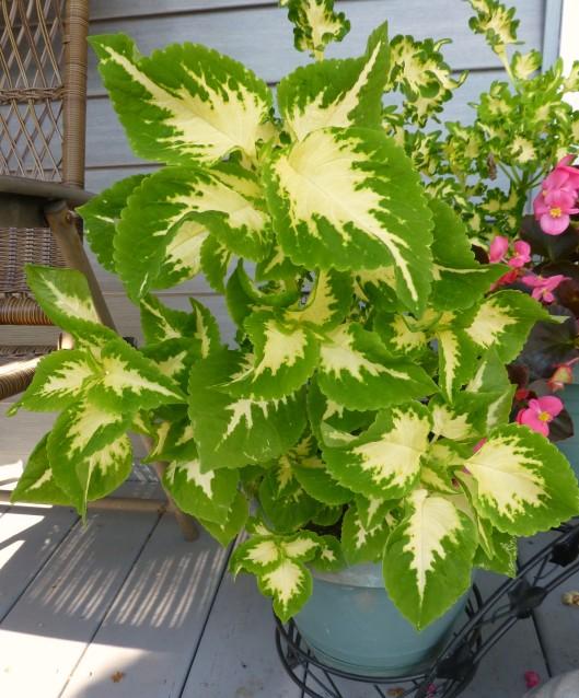 Green and cream coleus
