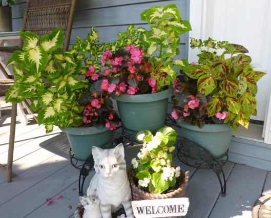 Begonia and coleus