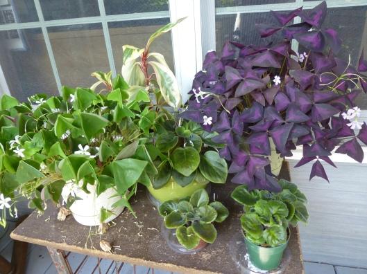 SHamrock plants