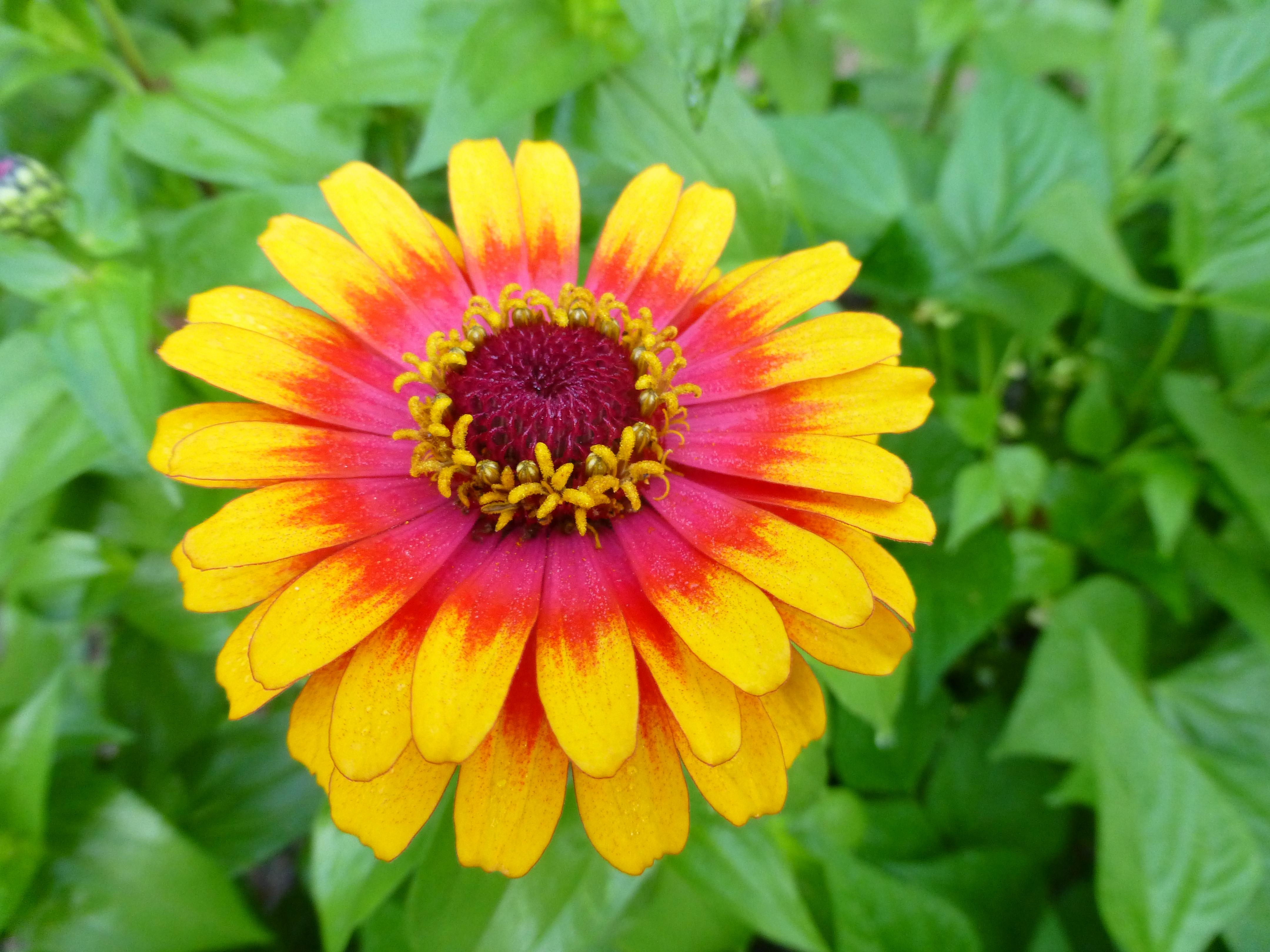 Thursday plant profile zinnia zowie cosmos and cleome zinnia zowie yellow flame mightylinksfo