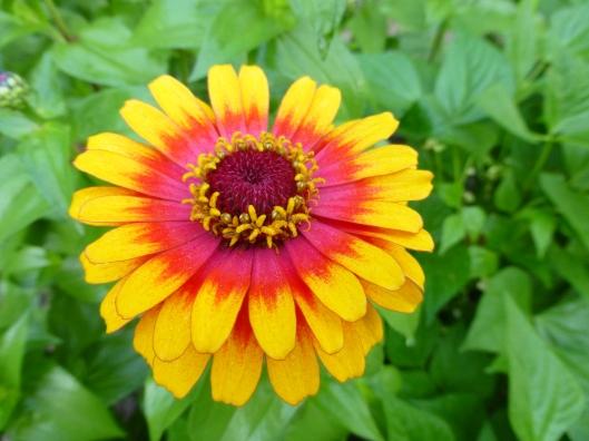 Zinnia 'Zowie Yellow Flame'