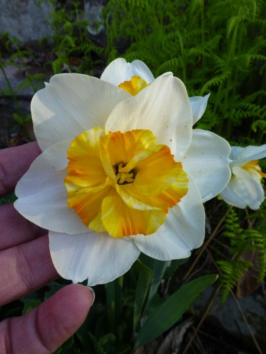 Narcissus 'Sorbet'