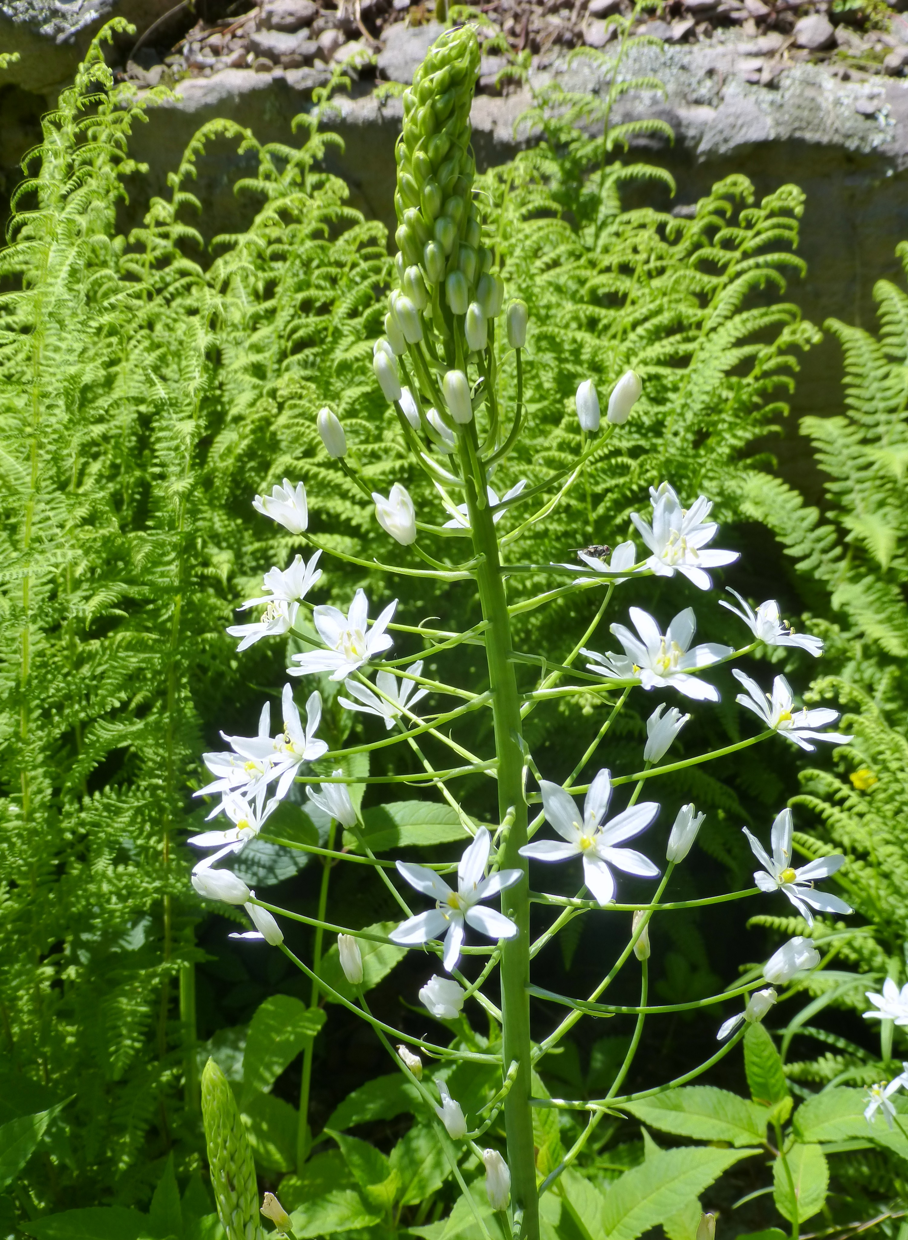 Ornithogalum Magnumstar Of Bethlehem Cosmos And Cleome