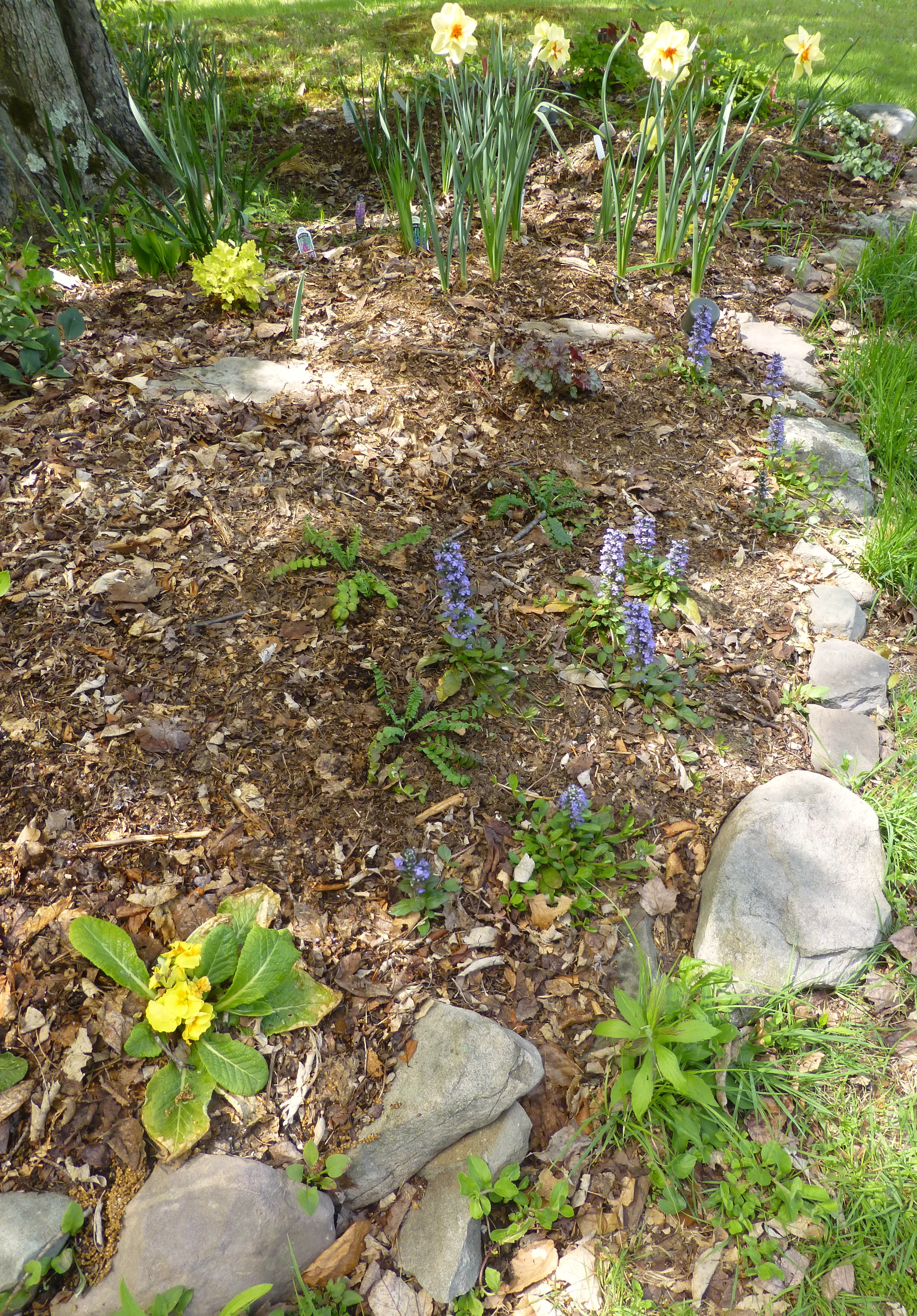 Garden Blogger\'s Bloom Day: May 15, 2015 | Cosmos and Cleome