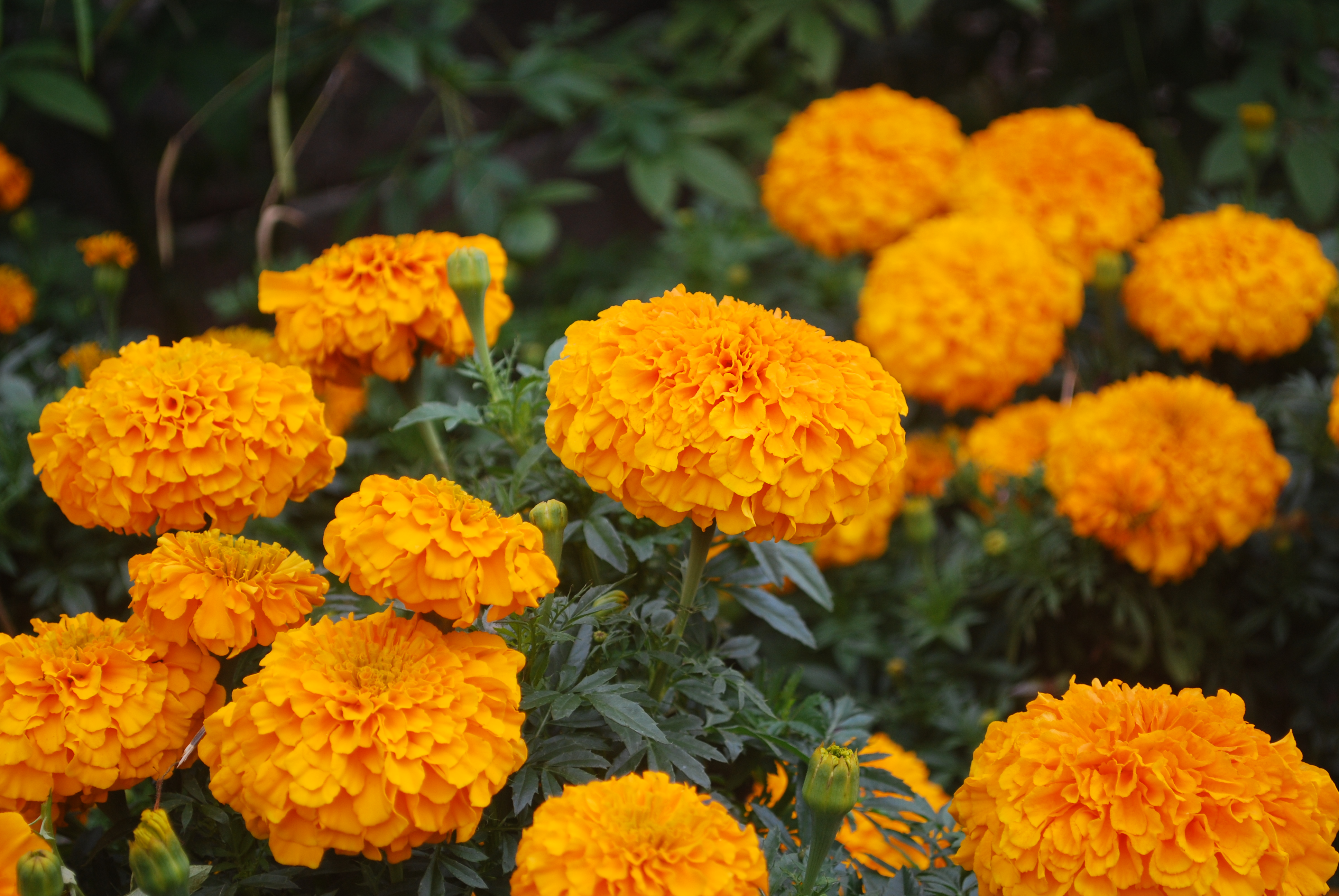 "Picture of Live Marigolds Inca Orange aka Tagetes erecta 'Inca Orange' Plant Fit 4"" Pot"