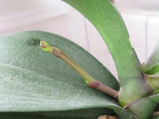Flower Stalk on Phalaenopsis (Moth) Orchid