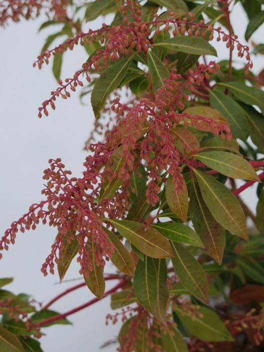 Pieris Japonica (Mountain Fire) buds in winter