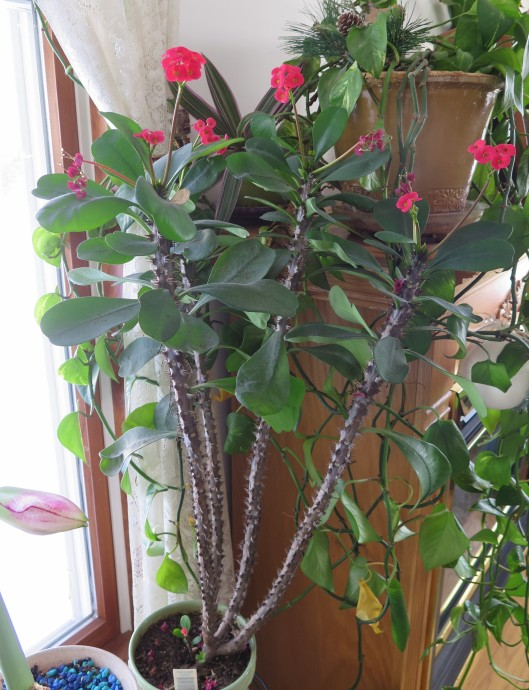 Crown of Thorns, Euphorbia millii