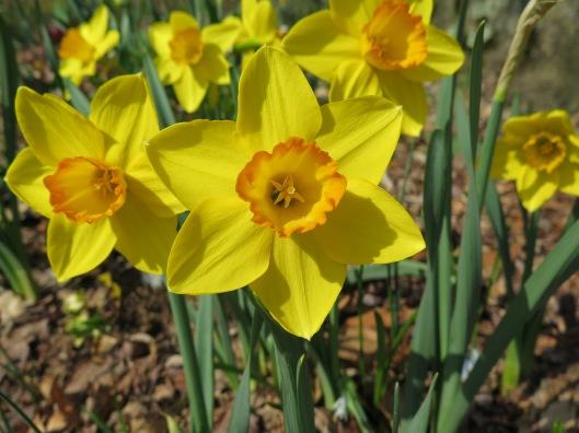 Narcissus 'Ceylon'