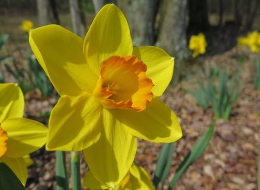 Mature Narcissus 'Ceylon'
