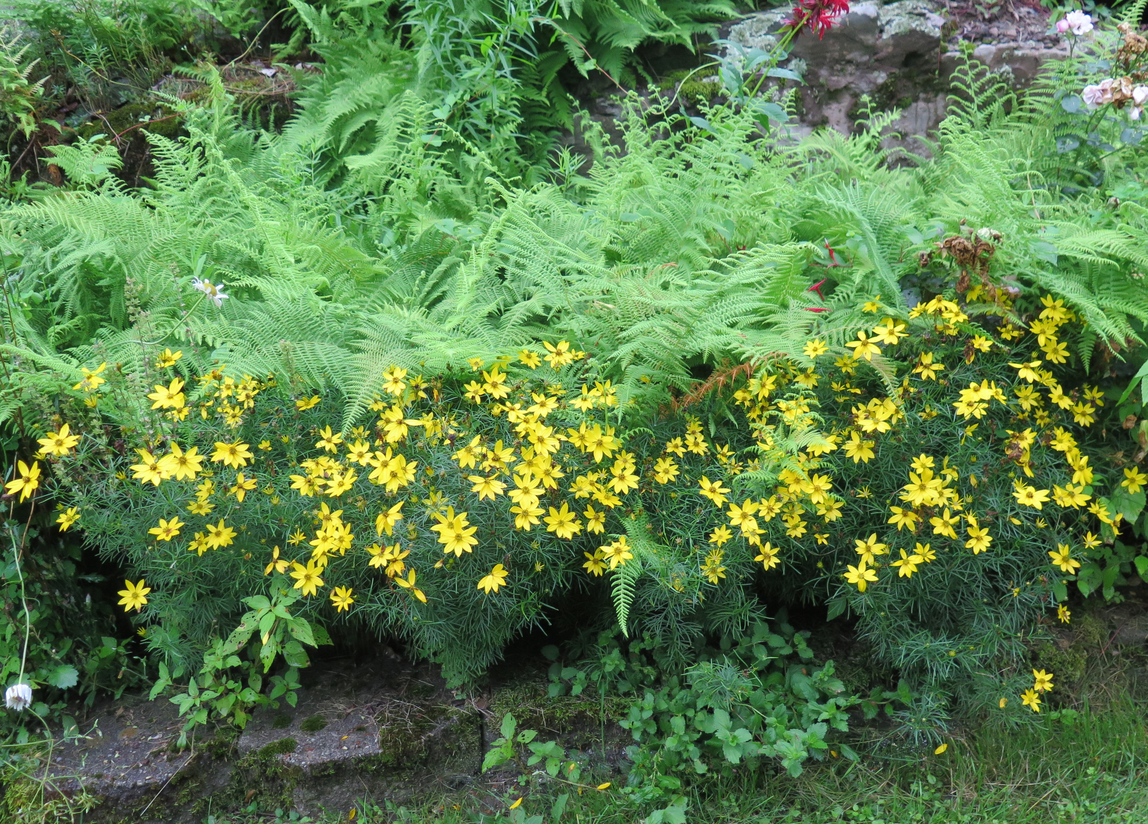a larger patch of deeper yellow threadleaf coreopsis is a bit stronger pushing its way out of the ferns 015 - Threadleaf Coreopsis