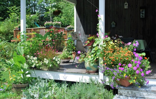 Tuesdays views august 16 2016 cosmos and cleome way over to the left in the half barrel pot you can see my experimental canna is just beginning to bloom what makes it experimental you ask mightylinksfo